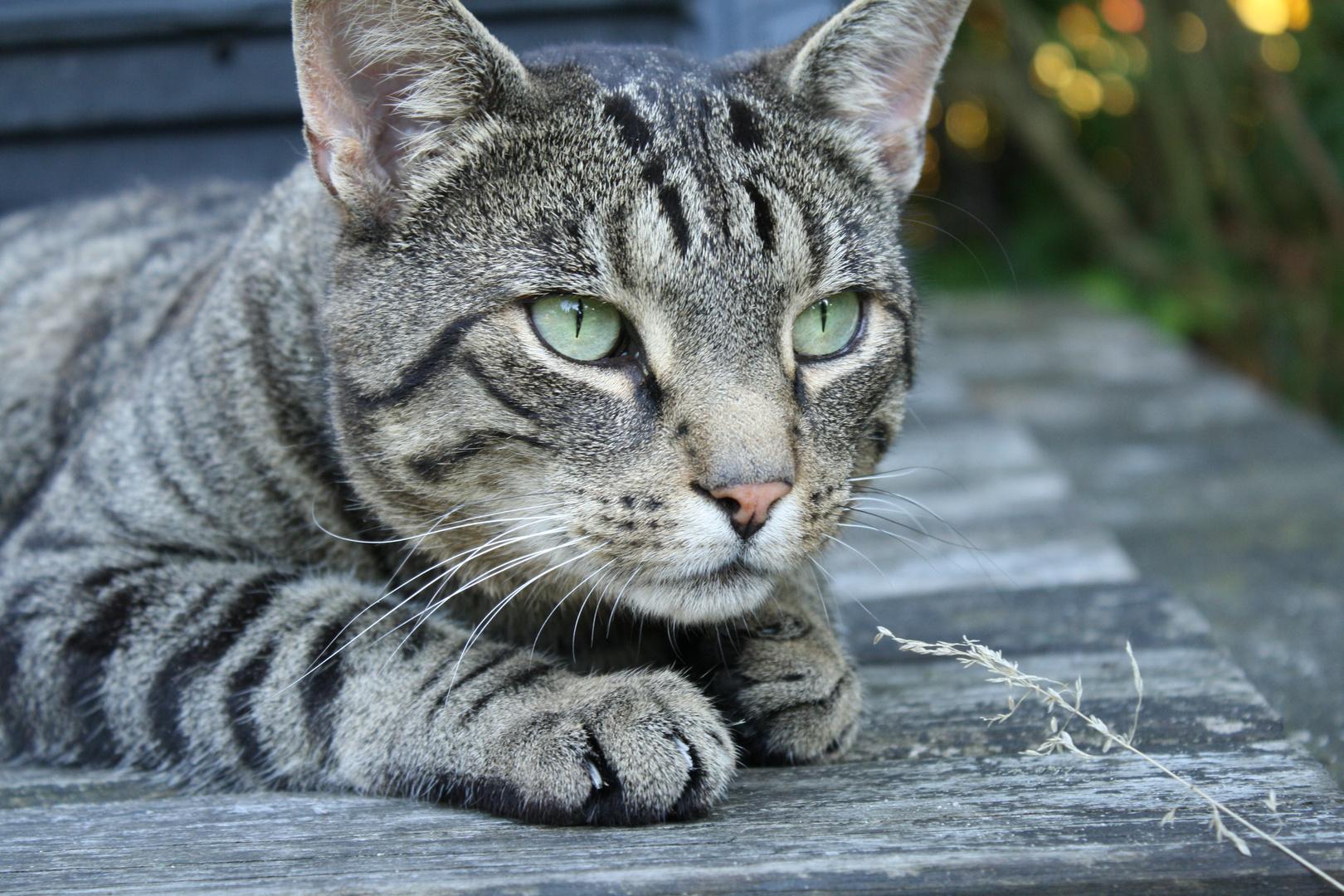 Gott schuf die Katze, damit der Mensch einen Tiger zum streicheln hat.