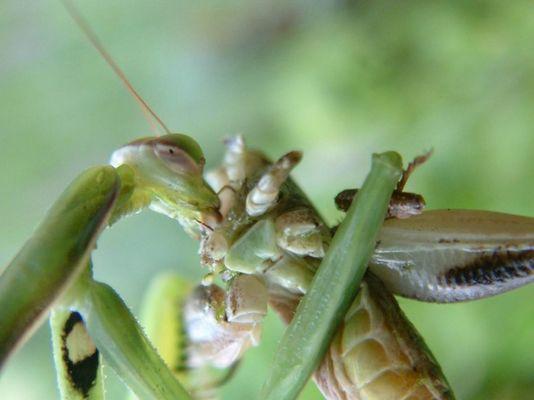 Gottesanbeterin frißt eine Heuschrecke