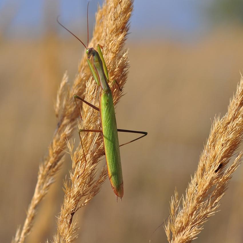 Gottesanbeterin...... (Männchen der Mantis religiosa)