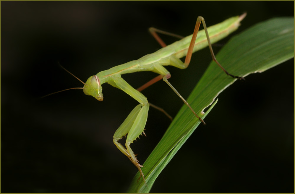 gottesanbeterin mantis religiosa foto bild tiere wildlife insekten bilder auf fotocommunity. Black Bedroom Furniture Sets. Home Design Ideas