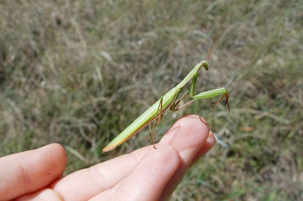 Gottesanbeterin ( Mantis religiosa )