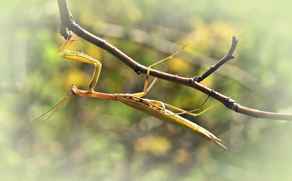 Gottesanbeterin (Mantis religiosa)........, beim abhängen erwischt