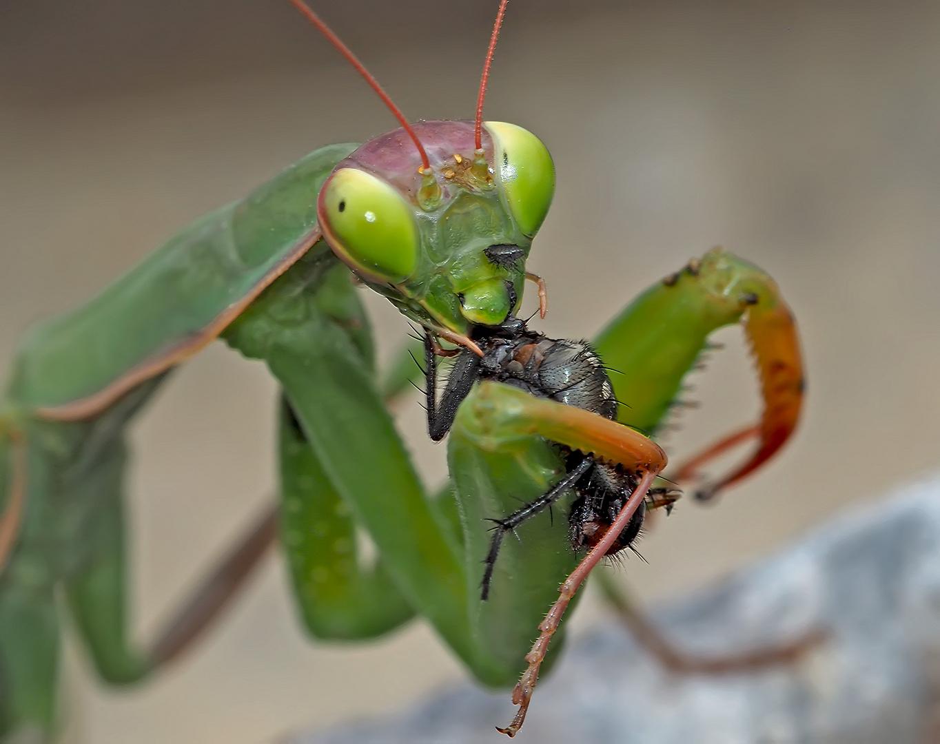 Gottesanbeterin (Mantis religiosa): Der grosse Hunger! Foto 3 - La mante religieuse a faim!