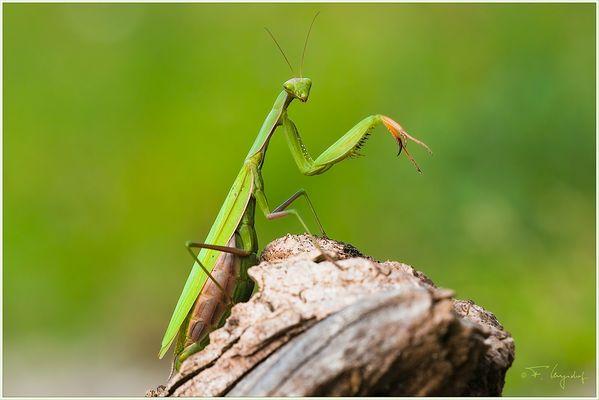Gottesanbeterin-(Mantis-religiosa)