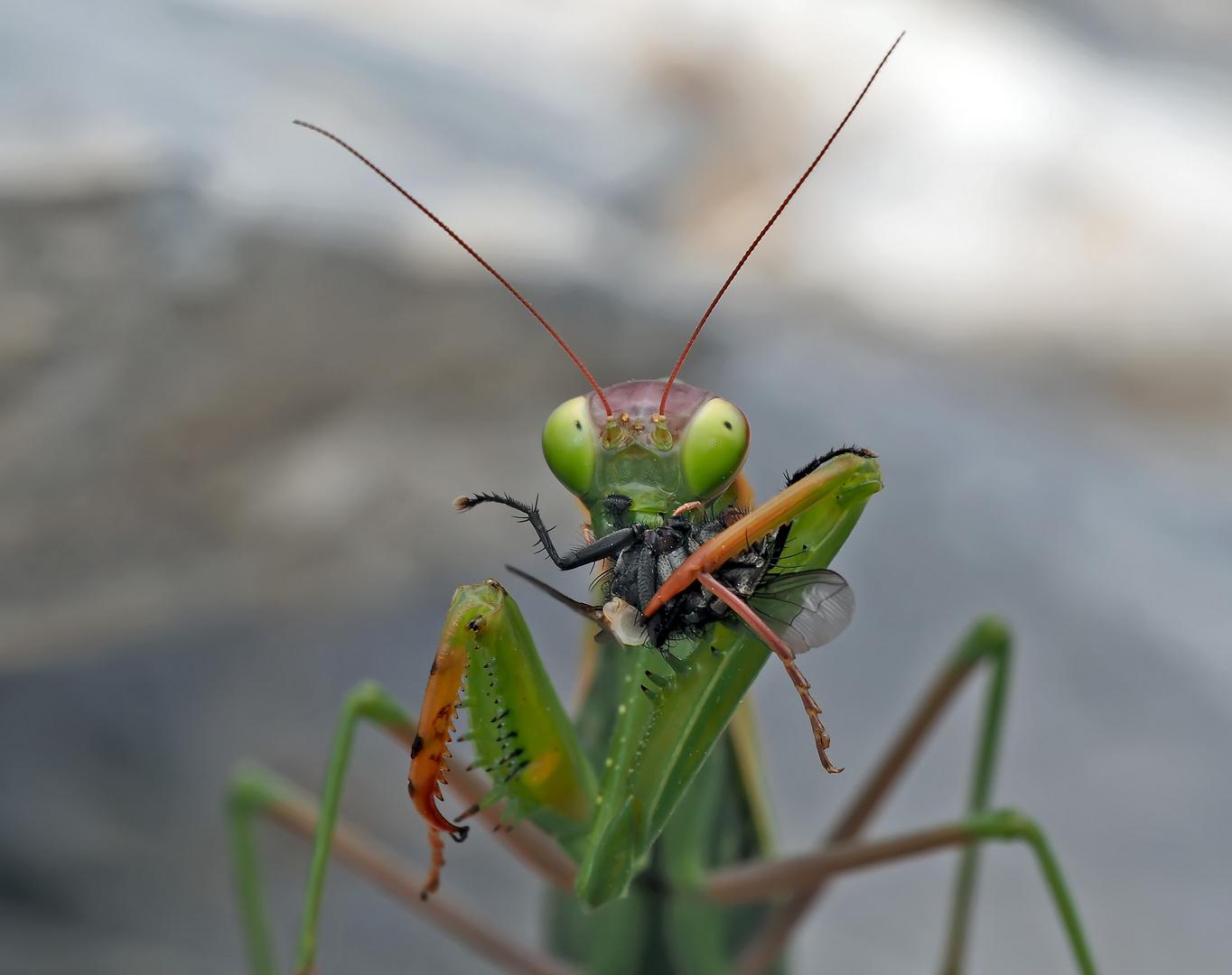 Gottesanbeterin (Mantis religiosa): Jetzt hat sie die Fliege erwischt! Foto 2 - Mante religieuse.