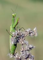 Gottesanbeterin - Mantis religiosa, w