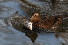 Gourmet-Ente auf Fischfang
