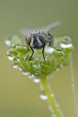 Goutees de brume sur une mouche