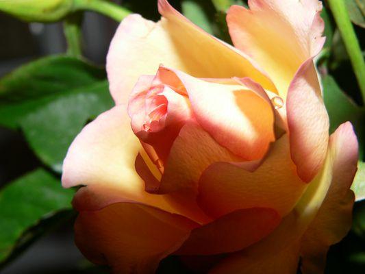 goutte d'eau dans une rose
