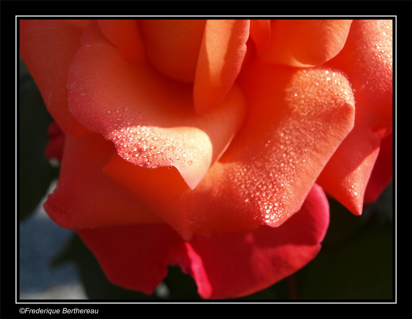Gouttes d'eau...de rose