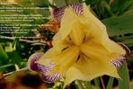 Gracchus - historische Iris