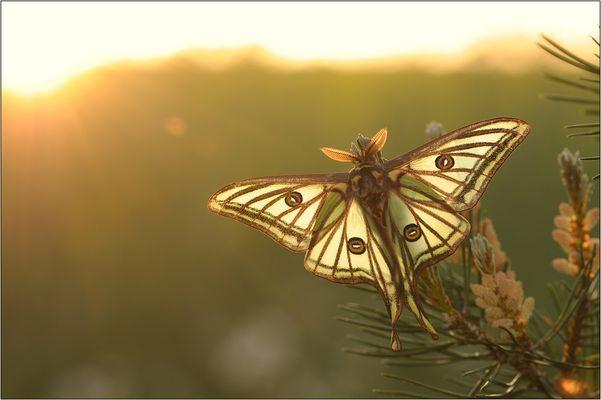 ~ Graellsia isabellae ~