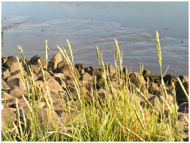 Gräser am Wattenmeer