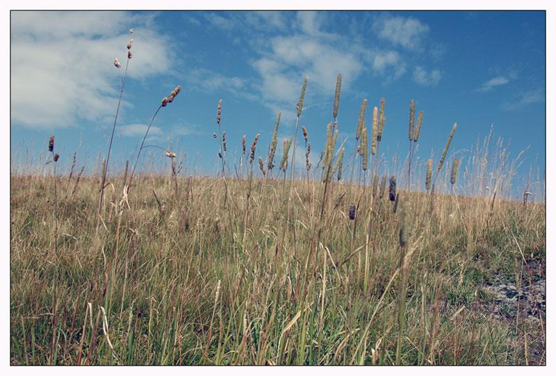Gräser auf der Seiser Alm