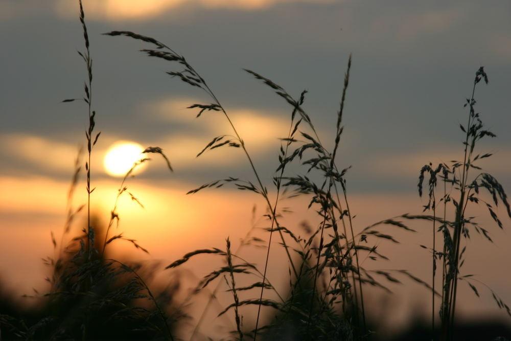 Gräser im Abend-Licht...