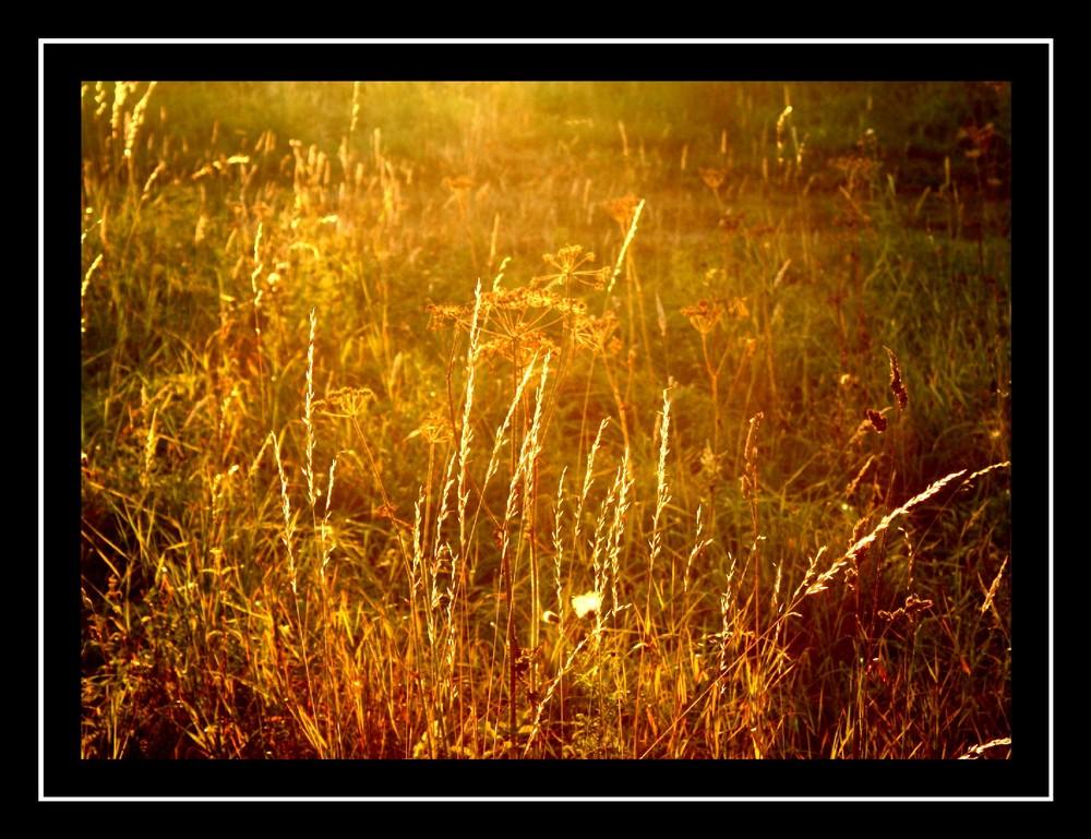 Gräser im Spätsommer in der Abendsonne