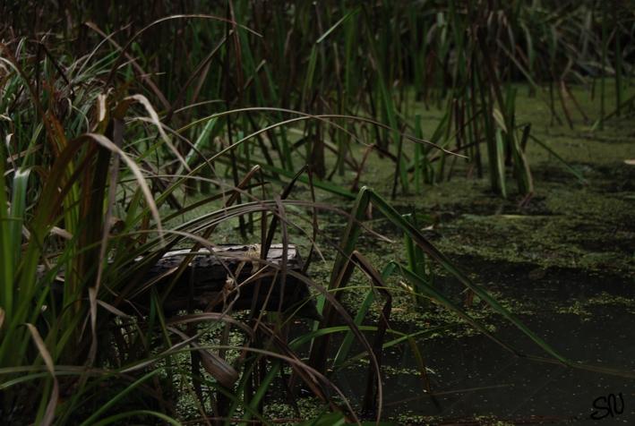 Gräser im Teich