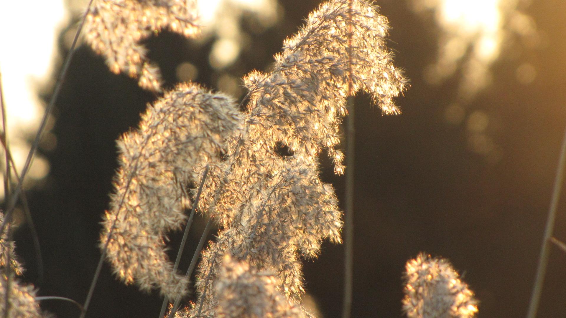Gräser in der Abendsonne