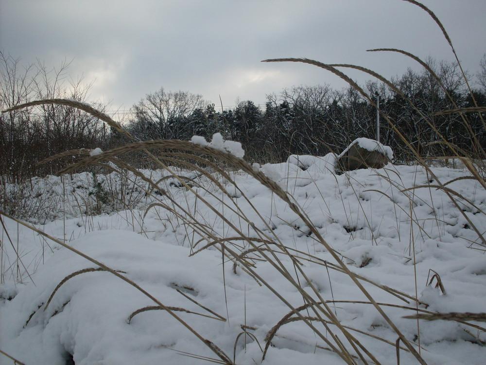 Gräser in Schnee
