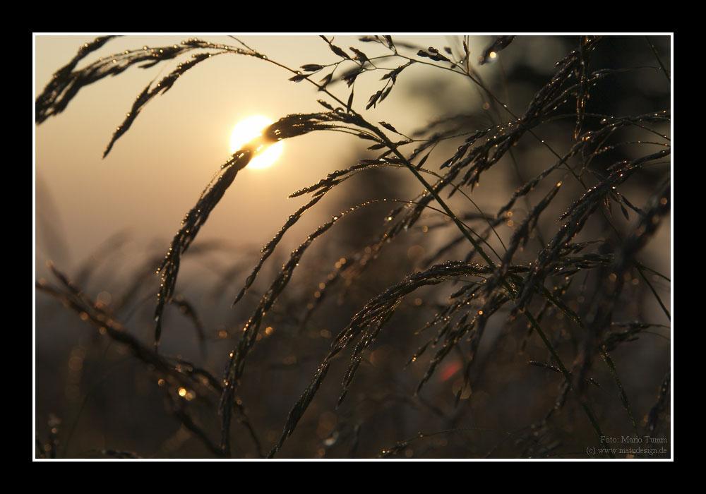 Gräser mit Tautropfen