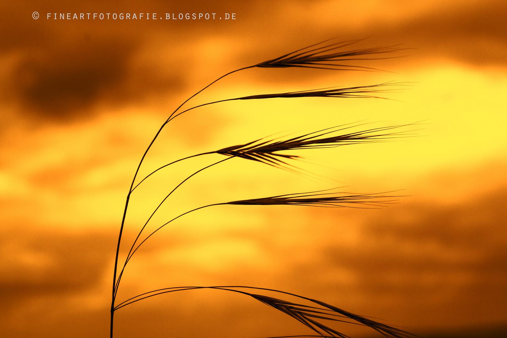 Gräser tanzen im Abendlicht.