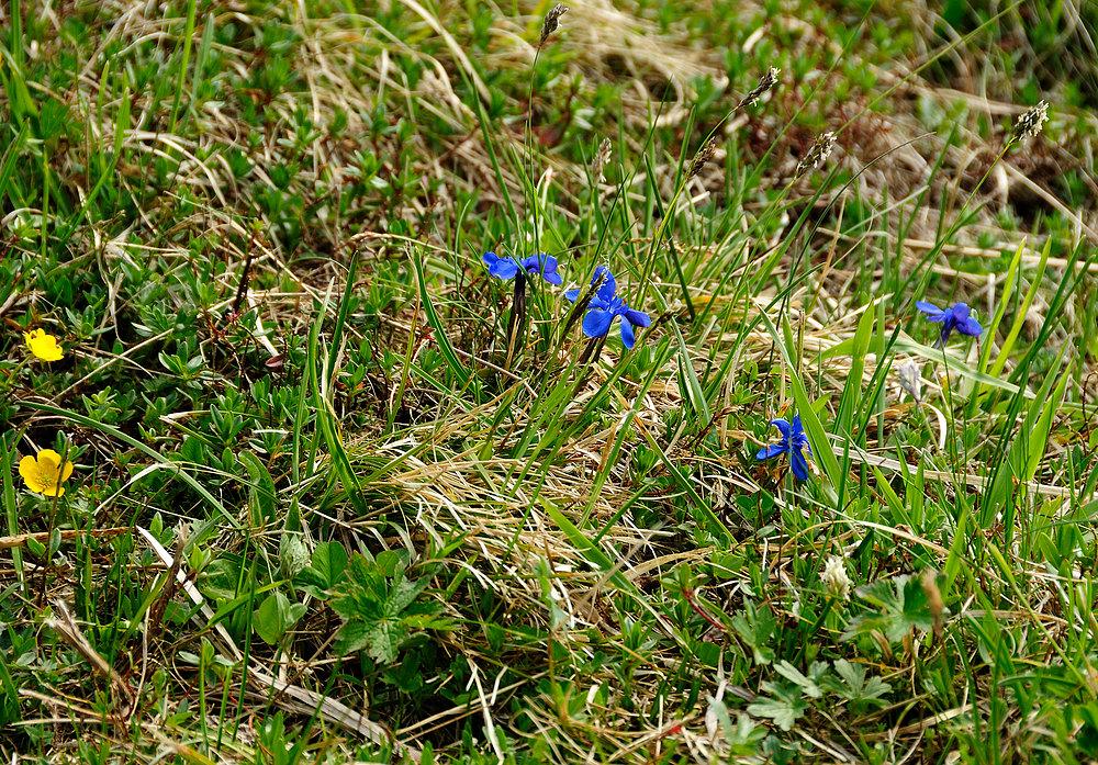 Gräser u. Blumen in 1.783mtr. Höhe a.d. Schafberg