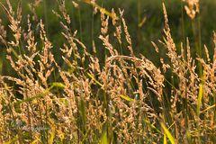 Gräser zur goldenhour