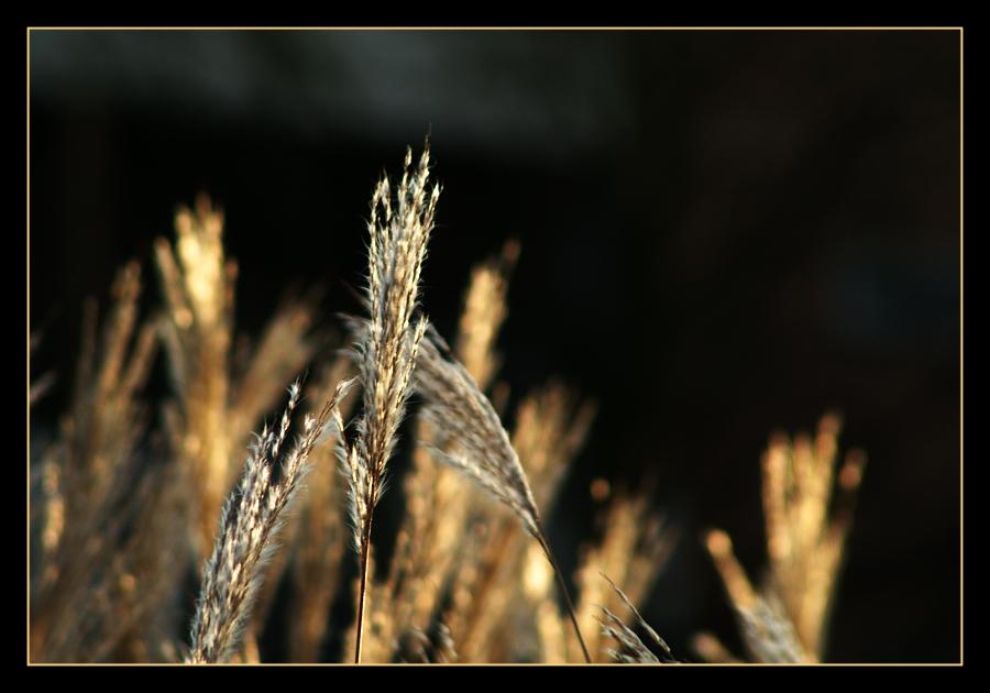 Gräserwelt in Januar