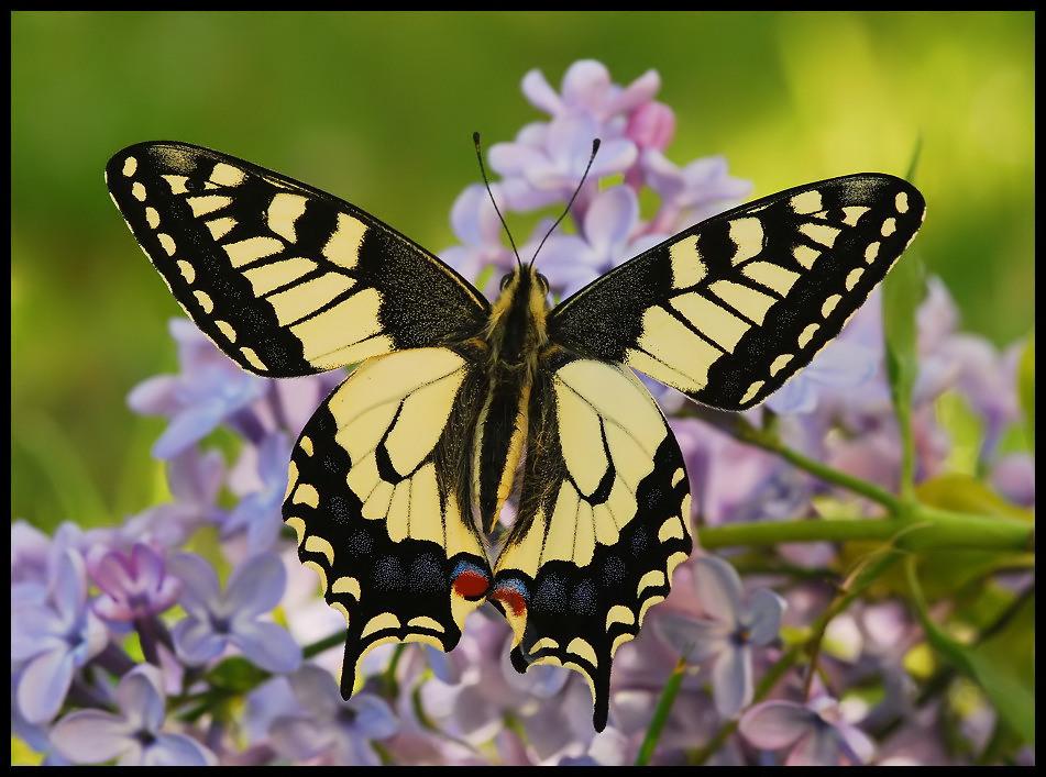 ***Graf Papilio IV***