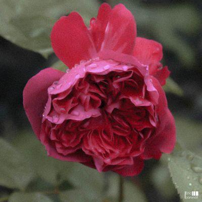 Grain de rose