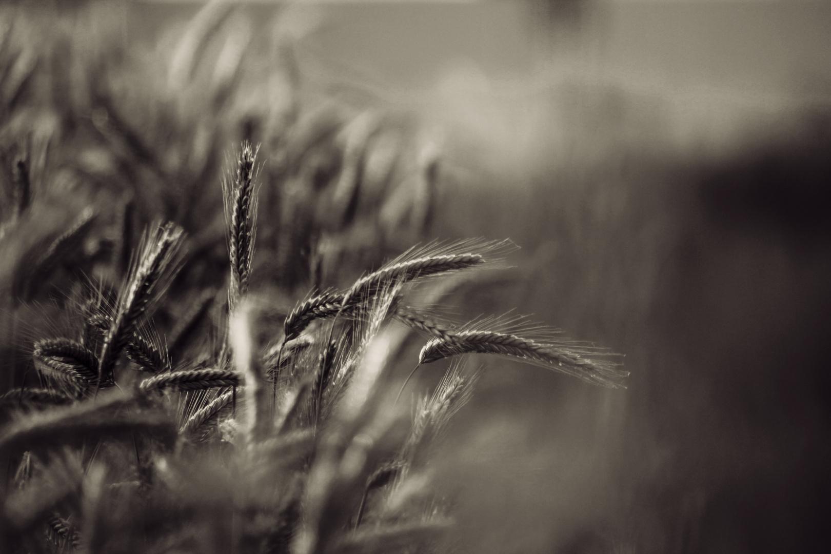 grain spikes