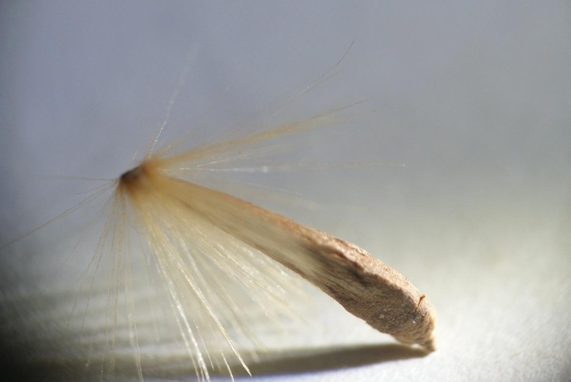 graine de platane