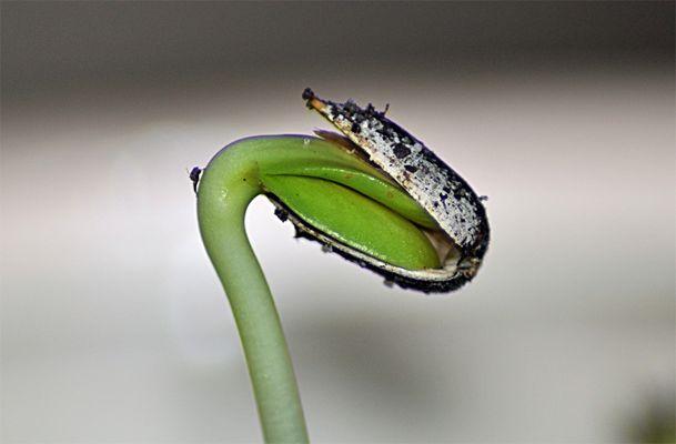 graine de tournesol