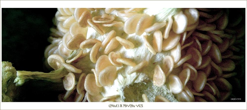 Graines de poivron vert