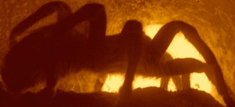 Grammostola aureostriata