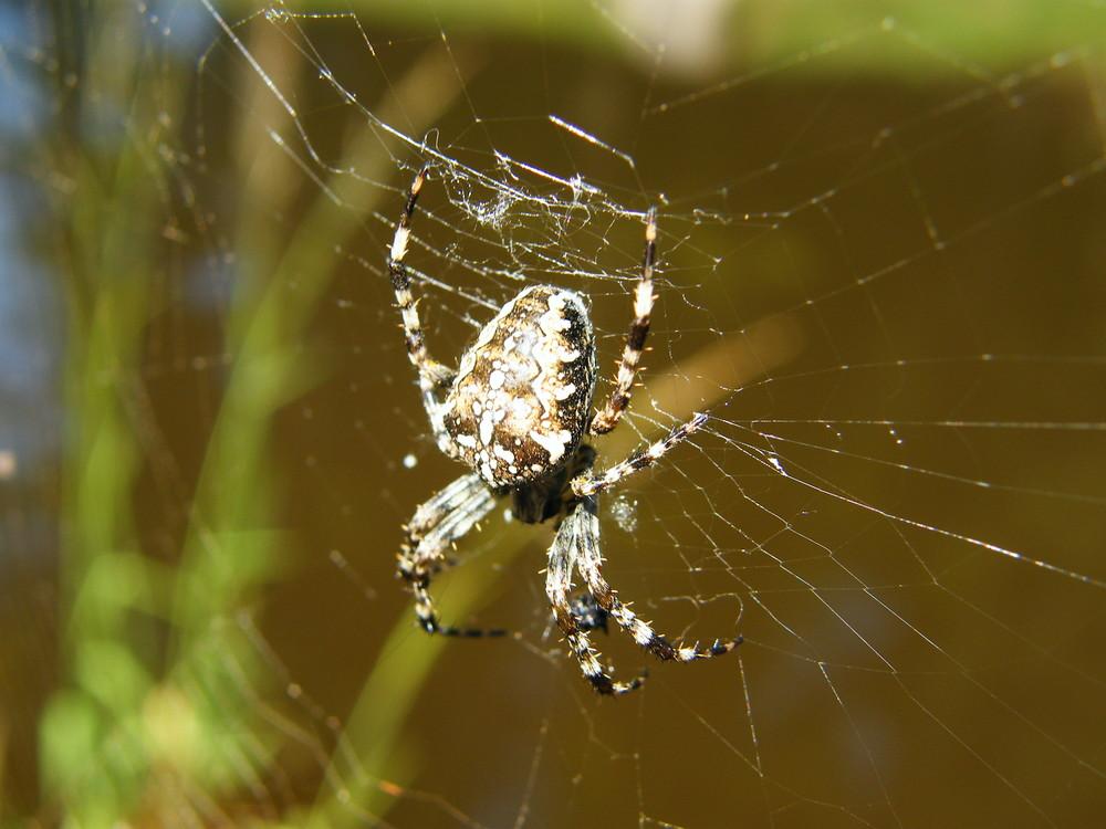 gran araña!