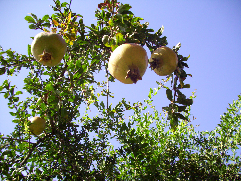 granado en fruto
