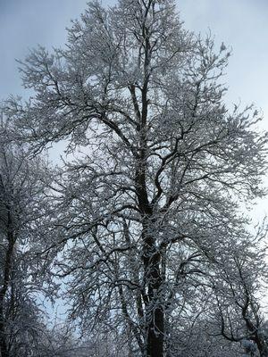 grand arbre enneigé!!