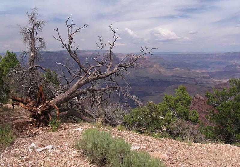 Grand Canyon - Broken Tree