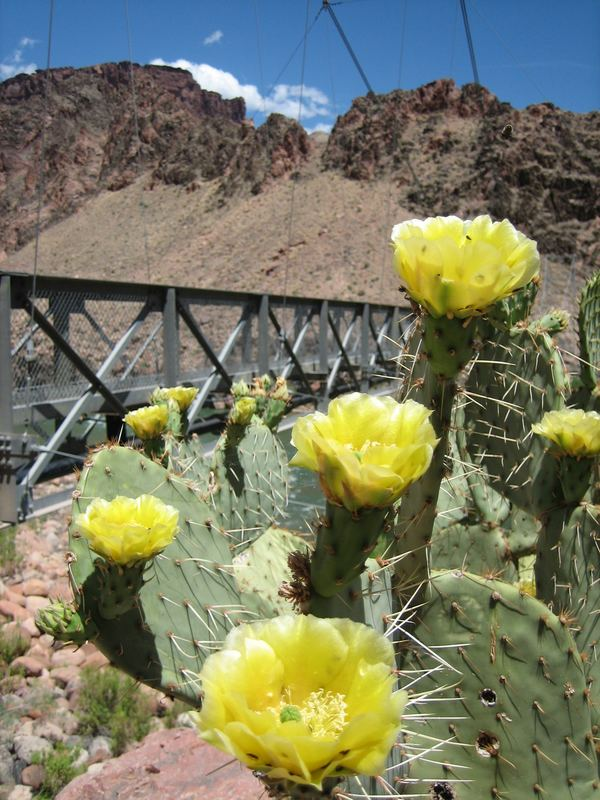 Grand Canyon Yellow Cacti