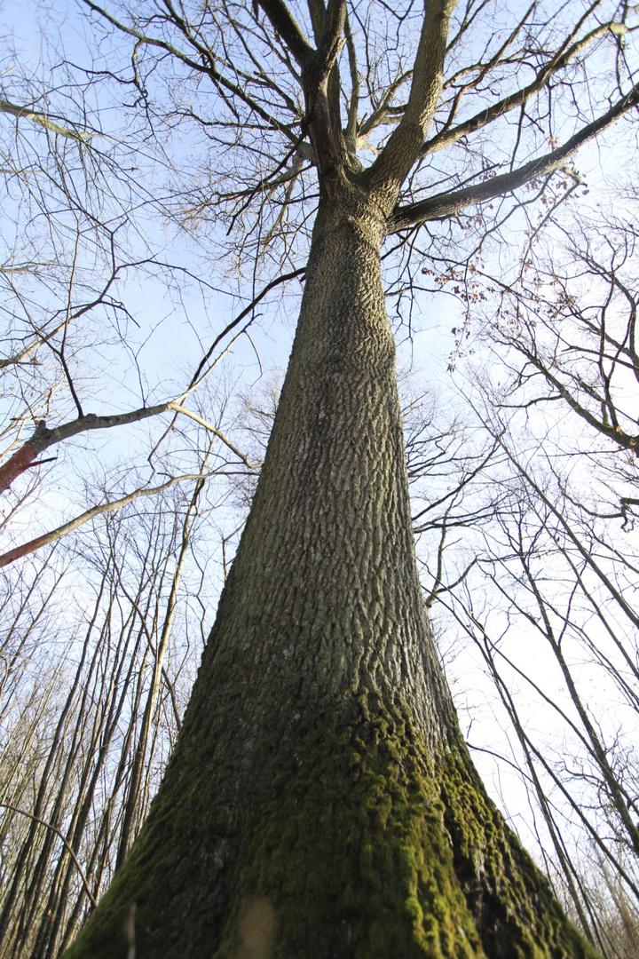 grand chêne