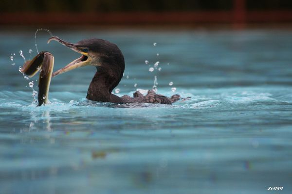 Grand Cormoran + Anguille !