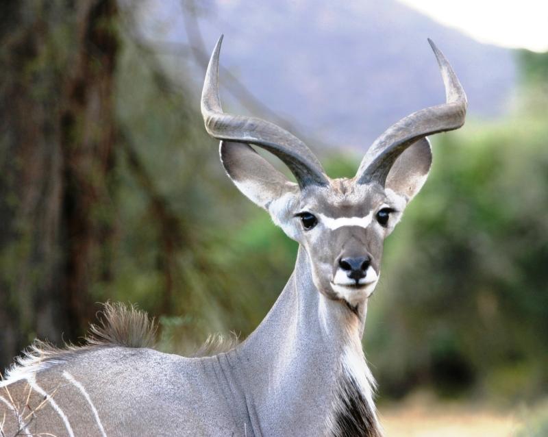 Grand Koudou (Greater Kudu) - Samburu / Kenya - Biche oh ma biche !