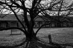 Grande albero, abbazia di Mirasole