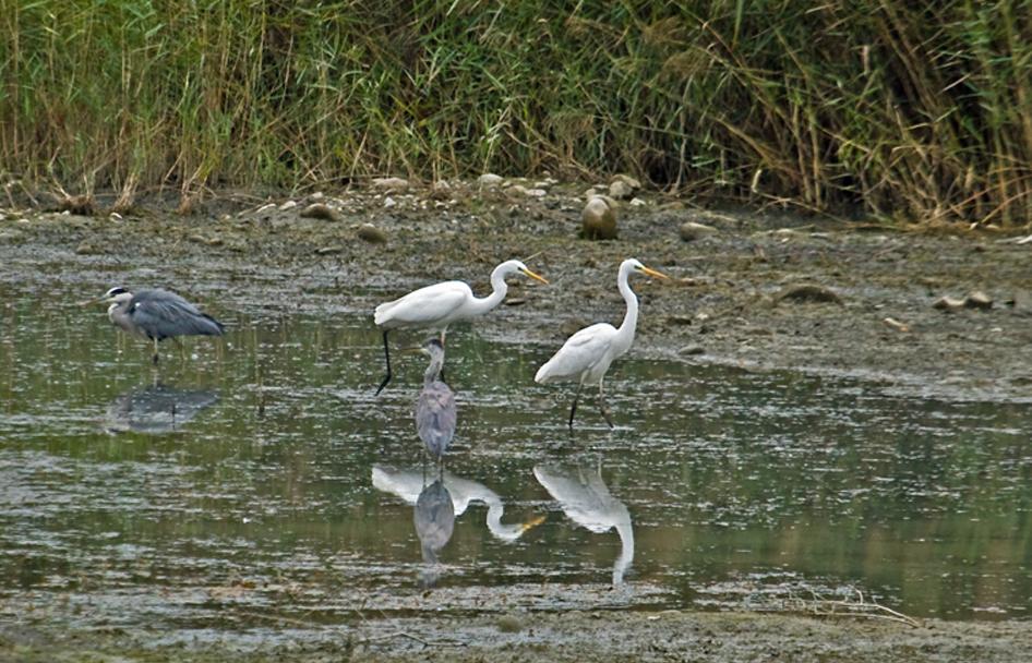 grandes aigrettes et herons cendrés1