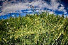 grano verde