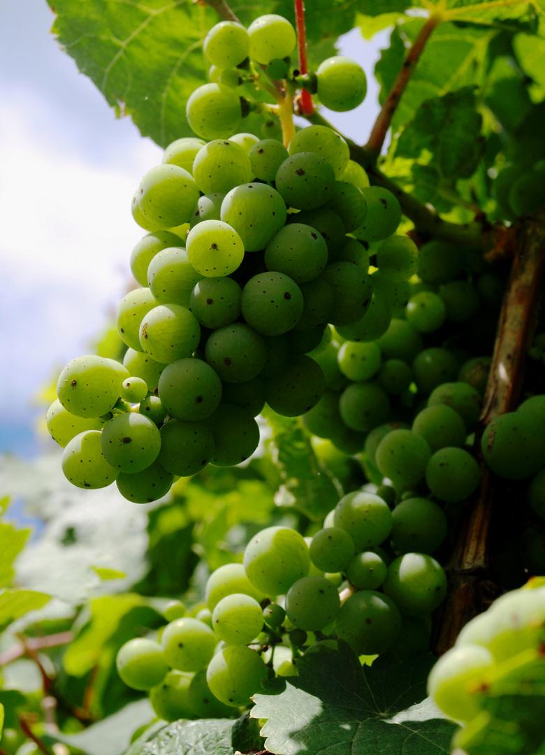 Grapes - Trauben