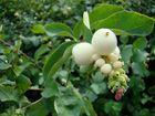Grappe de fleurs blanches