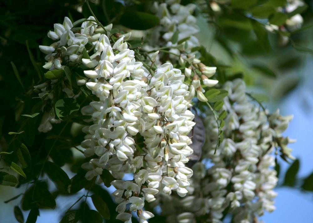 grappoli profumati foto immagini piante fiori e funghi ForPianta Ornamentale Con Fiori A Grappolo Profumatissimi