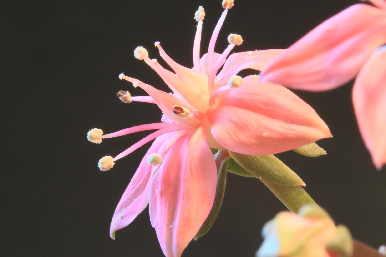 Graptopetalum bellum Blüte 2